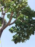 Voller grüner frischer Baum Lizenzfreie Stockbilder