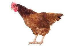 Voller Körper des braunen Huhns, Hennenstellung lokalisierte weißes backgrou stockfotografie