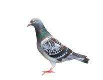 Voller Körper des Sportbrieftaubevogels, der Blickkontakt zum Nocken schaut Lizenzfreies Stockfoto