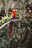 In voller Länge von einem Keilschwanzsittichvogel, der in einem Baum im Dschungel sitzt Lizenzfreies Stockfoto