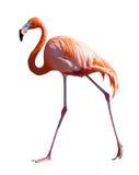 In voller Länge vom Flamingo über Weiß Lizenzfreie Stockfotografie
