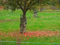Voller Od-Apfel des Gartens lizenzfreie stockfotos