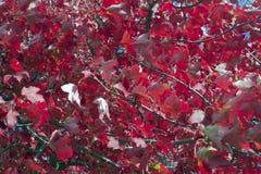 Voller Rahmen des glänzenden roten Herbstlaubs Stockbild