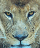 Voller Rahmenabschluß herauf afrikanischen männlichen Löwe mustert das Schauen, Südafrika Lizenzfreies Stockfoto