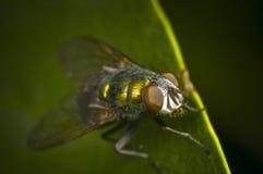 Voller Schuss der grünen Fliege Stockfotografie