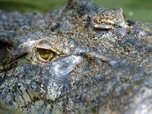 Volles Feld sehr großes saltwaer Krokodil, Thailand, Asien Stockbild