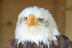 Volles frontales Viewof ein Weißkopfseeadler mit dem gehakten Schnabel und mit Federn versehenem Detail Stockbilder