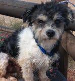 Volles Gesicht des Schwarzweiss-Terriers Lizenzfreie Stockfotos
