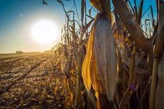 Volles Korn des Maisstiels auf dem Hintergrund der Sonne bei Sonnenuntergang stockfotografie