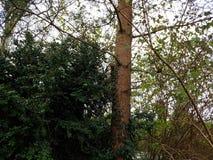 Volles Landschaftsbild des Eichhörnchens hängend im Baum Lizenzfreie Stockfotos
