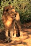 Volles Porträt eines jungen männlichen Löwes, der nach links schaut stockfotografie