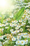 Vollkommene Gänseblümchen und Sonne Stockbilder