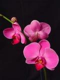 Vollkommene rosafarbene Orchideen stockbilder
