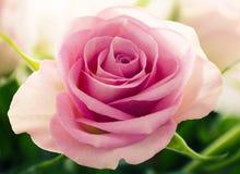 Vollkommene rosafarbene Rose Lizenzfreies Stockbild