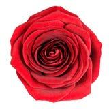 Vollkommene rote Rose Flowerhead getrennt auf Weiß Lizenzfreies Stockbild