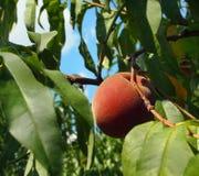 Vollkommener Pfirsich auf einem Zweig Lizenzfreies Stockfoto