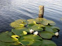 Vollkommener Platz für Fischen - Wasser-Lilie Stockbilder