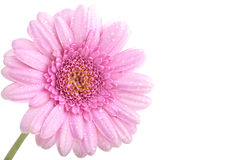Vollkommener rosafarbener Gerbera mit Tau stockbild
