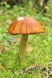 Vollkommenes Boletus rufus, roter Pilz Stockfoto