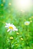 Vollkommenes Gänseblümchen und Sonne Lizenzfreie Stockbilder