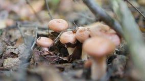 Volnushki dans le torminsus de Lactrius de forêt d'automne banque de vidéos