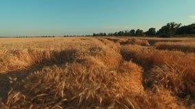 Volo aereo sopra il giacimento di grano nel tramonto video d archivio