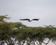 Volo africano di Eagle di pesce sopra gli alberi Immagini Stock