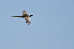 Volo Anello-con il collo del fagiano in un cielo blu Fotografia Stock Libera da Diritti