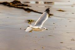 Volo Anello-fatturato del gabbiano sulla riva al Laguna Beach, California Fotografie Stock