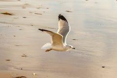 Volo Anello-fatturato del gabbiano sulla riva al Laguna Beach, California Fotografie Stock Libere da Diritti