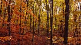 Volo attraverso la foresta di autunno video d archivio