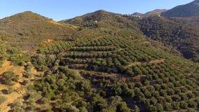 Volo basso sopra di olivo che formano un mare del baldacchino verde archivi video