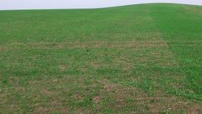 Volo basso sopra le colline verdi ed i giovani campi, vista aerea video d archivio