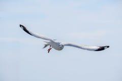 Volo bianco del gabbiano Immagine Stock