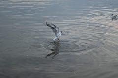 Volo bianco del gabbiano sopra la superficie dell'acqua Fotografia Stock