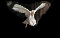 Volo bianco del gufo Fotografie Stock