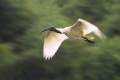 Volo bianco dell'Ibis Fotografia Stock Libera da Diritti