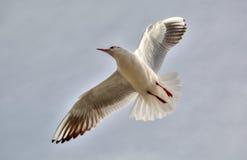 Volo bianco dell'uccello nel cielo Fotografia Stock Libera da Diritti