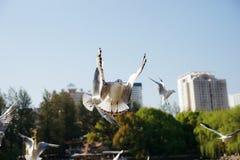 Volo bianco dell'uccello nell'aria agitando le sue ali Fotografie Stock Libere da Diritti
