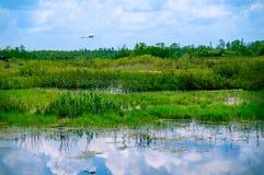 Volo bianco dell'uccello nella palude immagine stock