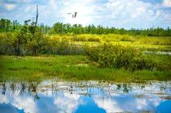 Volo bianco dell'uccello nella palude fotografia stock