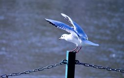 Volo bianco di decollo dell'uccello del gabbiano da una colonna con il fiume dentro fotografia stock