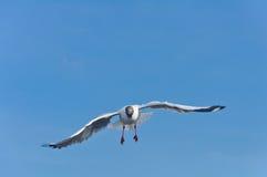 Volo bianco solo del gabbiano nel cielo blu fotografia stock