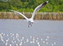 Volo bianco solo del gabbiano nel cielo sopra il mare Immagine Stock