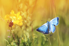 volo blu della farfalla in un prato soleggiato un giorno di estate Fotografie Stock Libere da Diritti