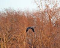 Volo canadese dell'oca lungo il treeline Immagine Stock