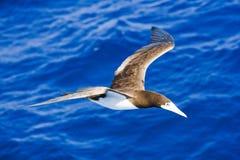 1 volo caraibico del gabbiano della testa di legno oltre Immagini Stock Libere da Diritti