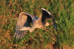 Volo cinerea di Grey Heron Ardea Fotografia Stock Libera da Diritti