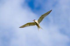 Volo comune del hirundo degli sterni della sterna contro un cielo blu Fotografie Stock