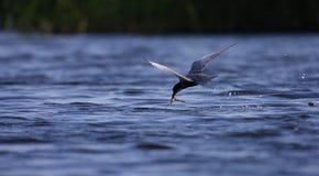 Volo comune del hirundo degli sterni della sterna dell'adulto con la cattura Fotografia Stock Libera da Diritti